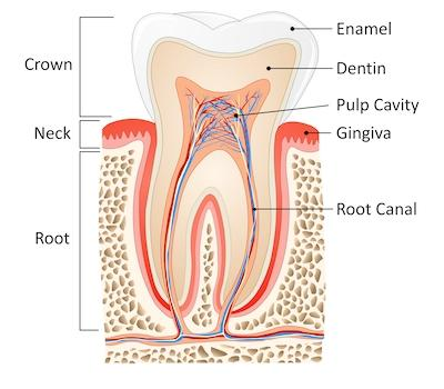 Diagram of how an emergency root canal works at dentist in Prairieville